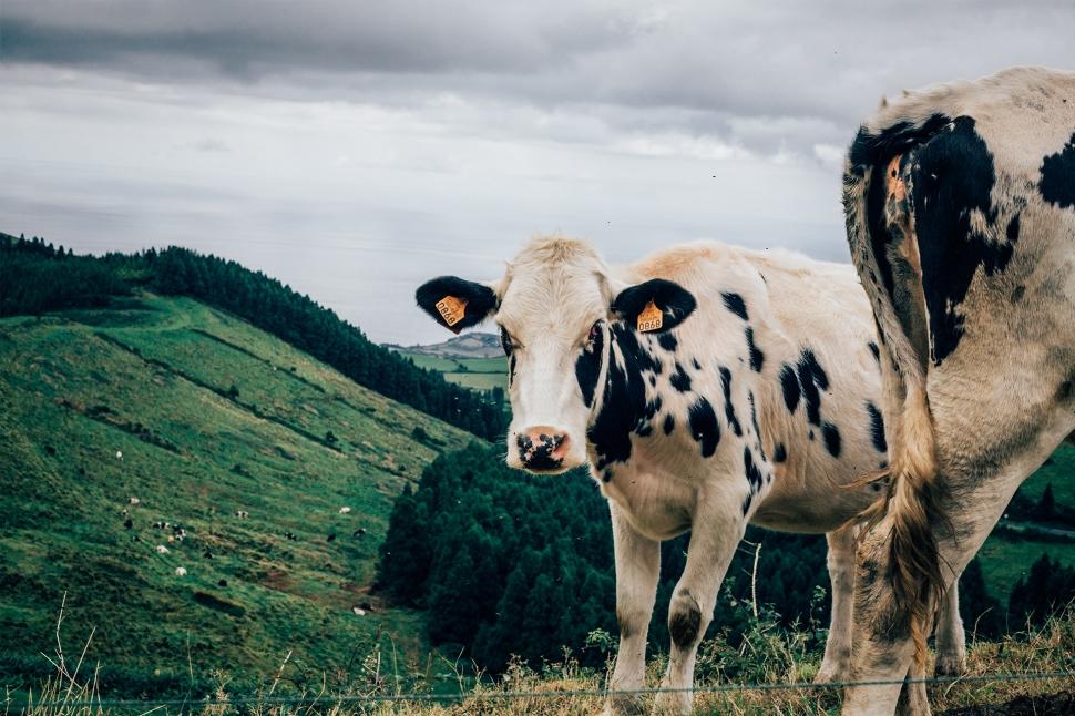 Vaca malhadas, Açores