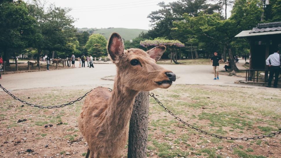nara-japao-veado-cervo