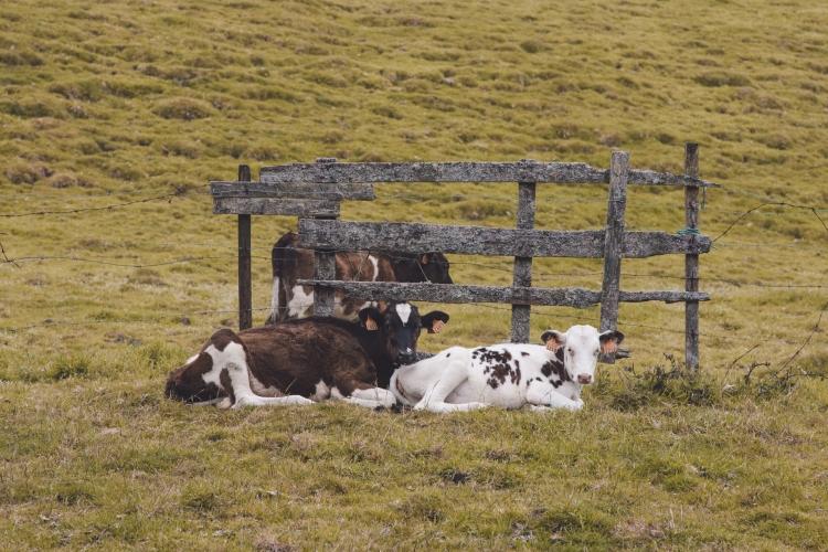 terceira-vacas