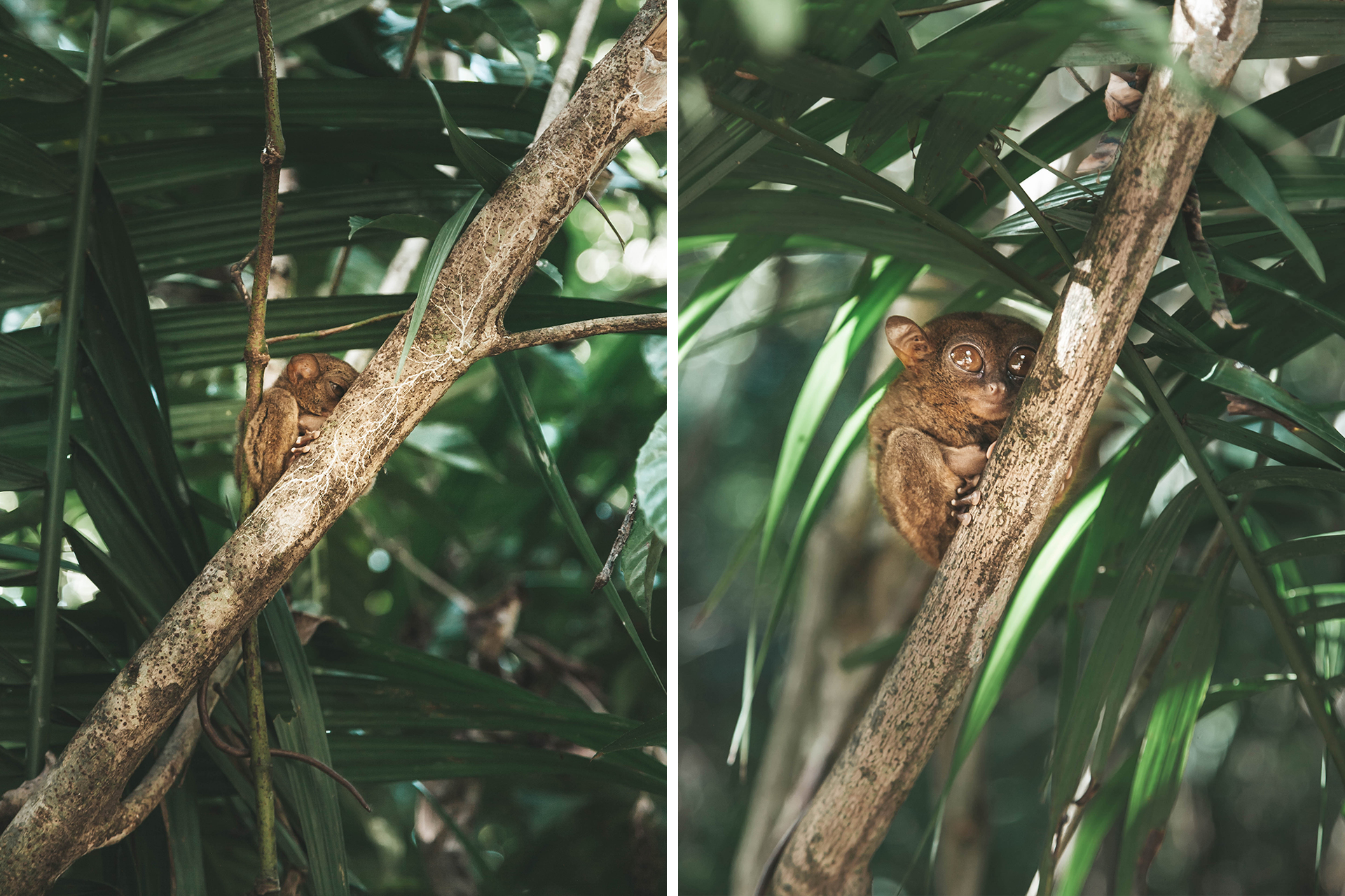 tarsier-arvore_bohol
